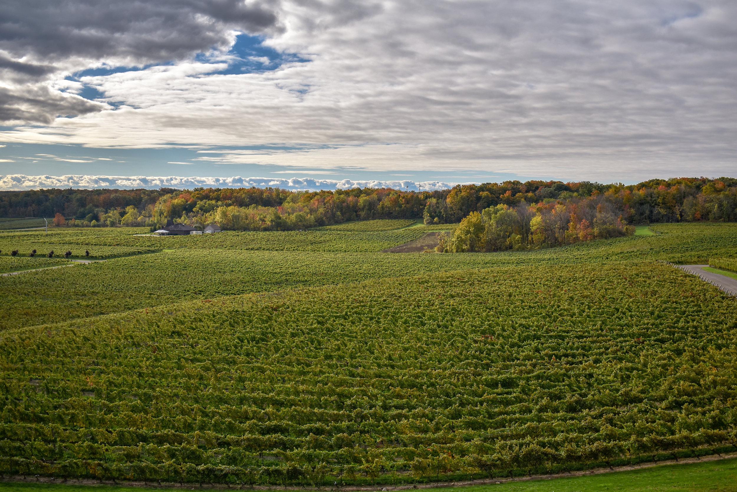 Vineyard - Vineland-LZ.jpg