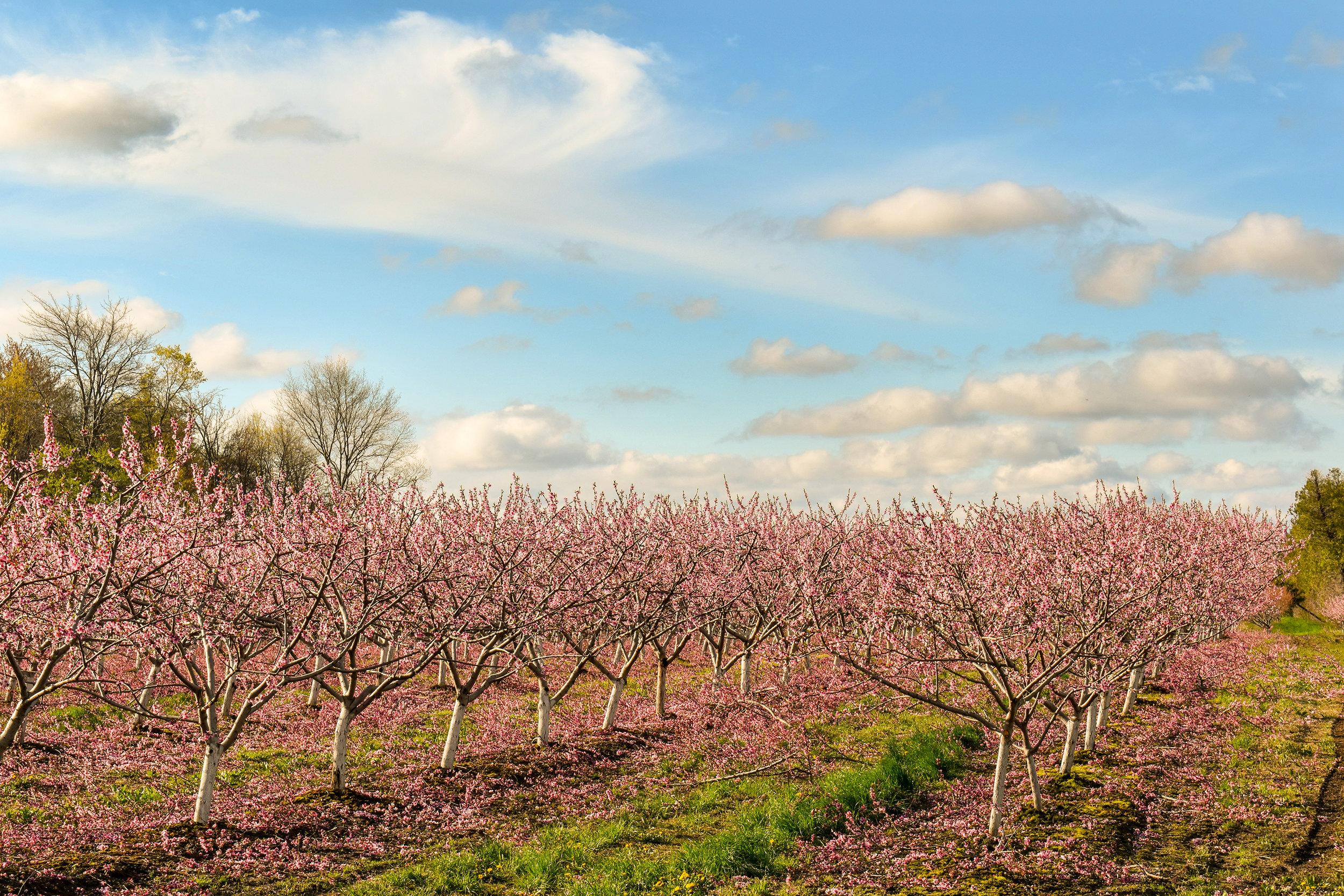 Cherry Blossoms-LZ.jpg