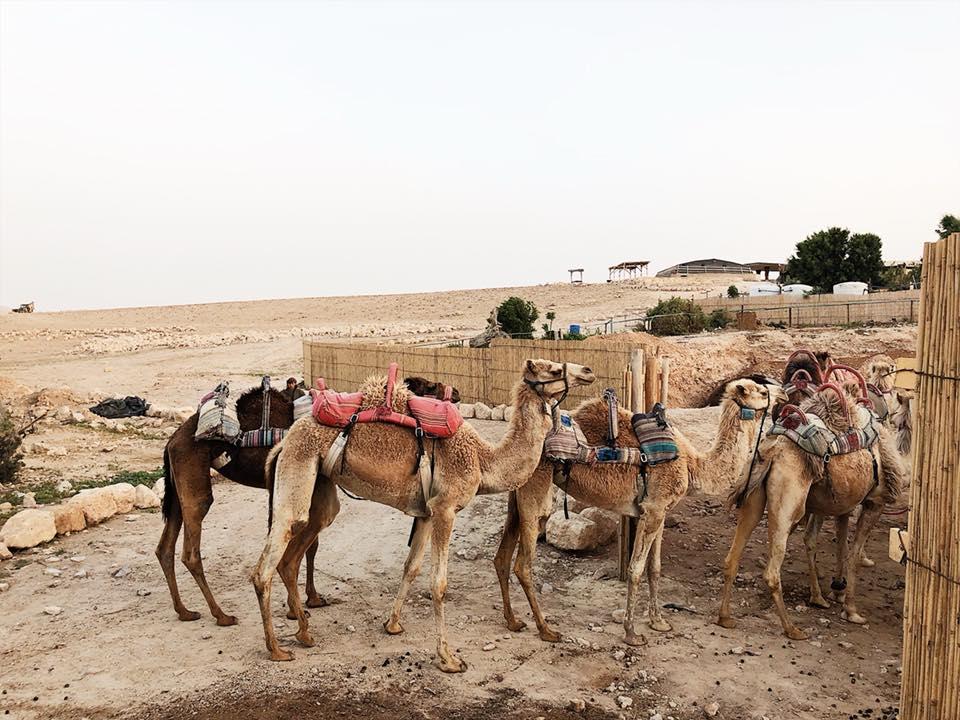 camel bedouin negev