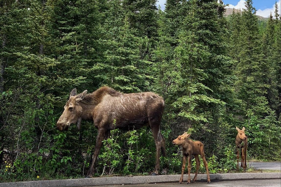 moose+alaska+denali