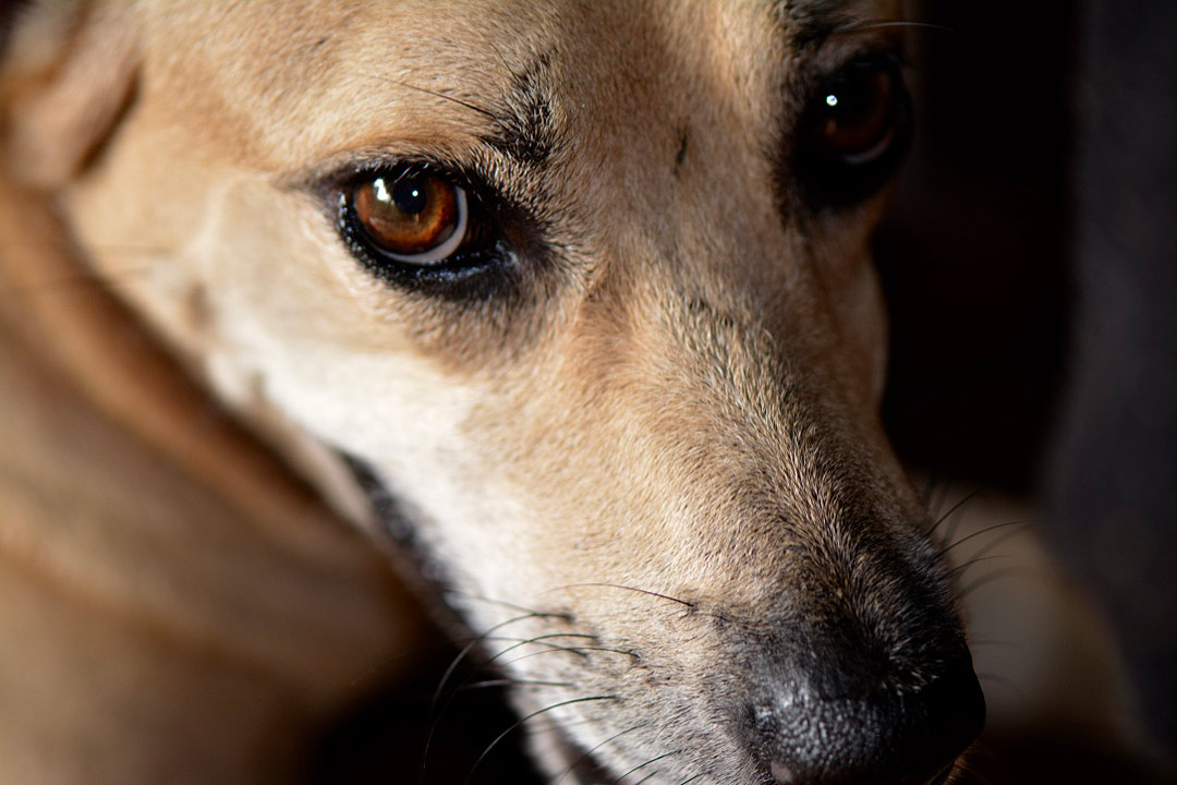 Canis familiaris (chispa)