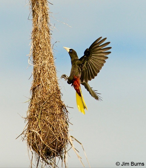 An  Oropendola  lights upon a hanging nest