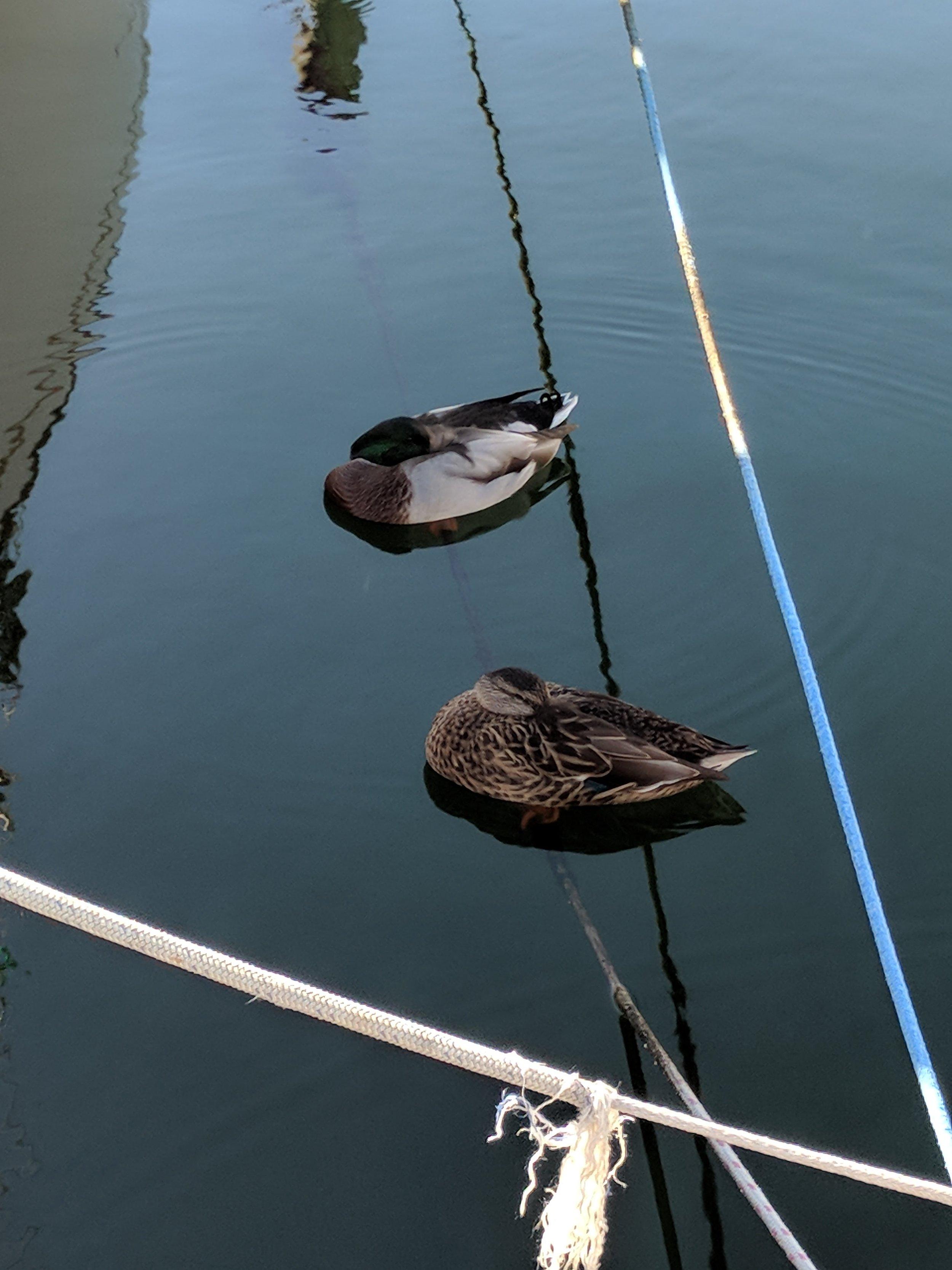 Ducks sleeping on the water.