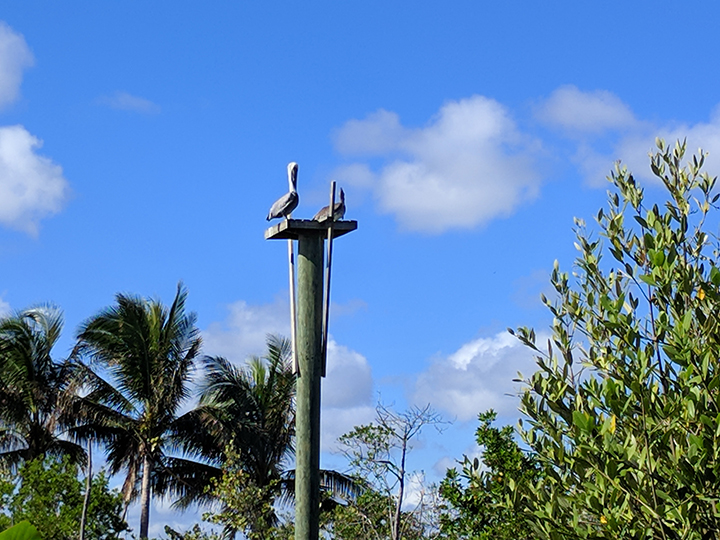 Pelicans on their perch.