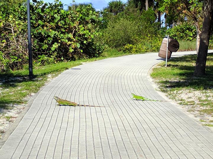 Iguanas sunning on the walkway.