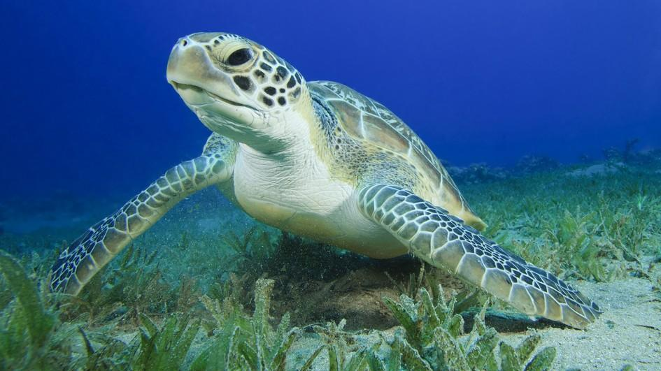 Green Turtle (photo from Kids National Geographic)