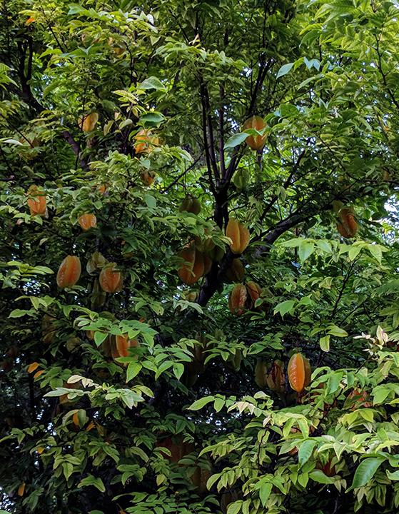 Starfruit tree bursting with fruit.