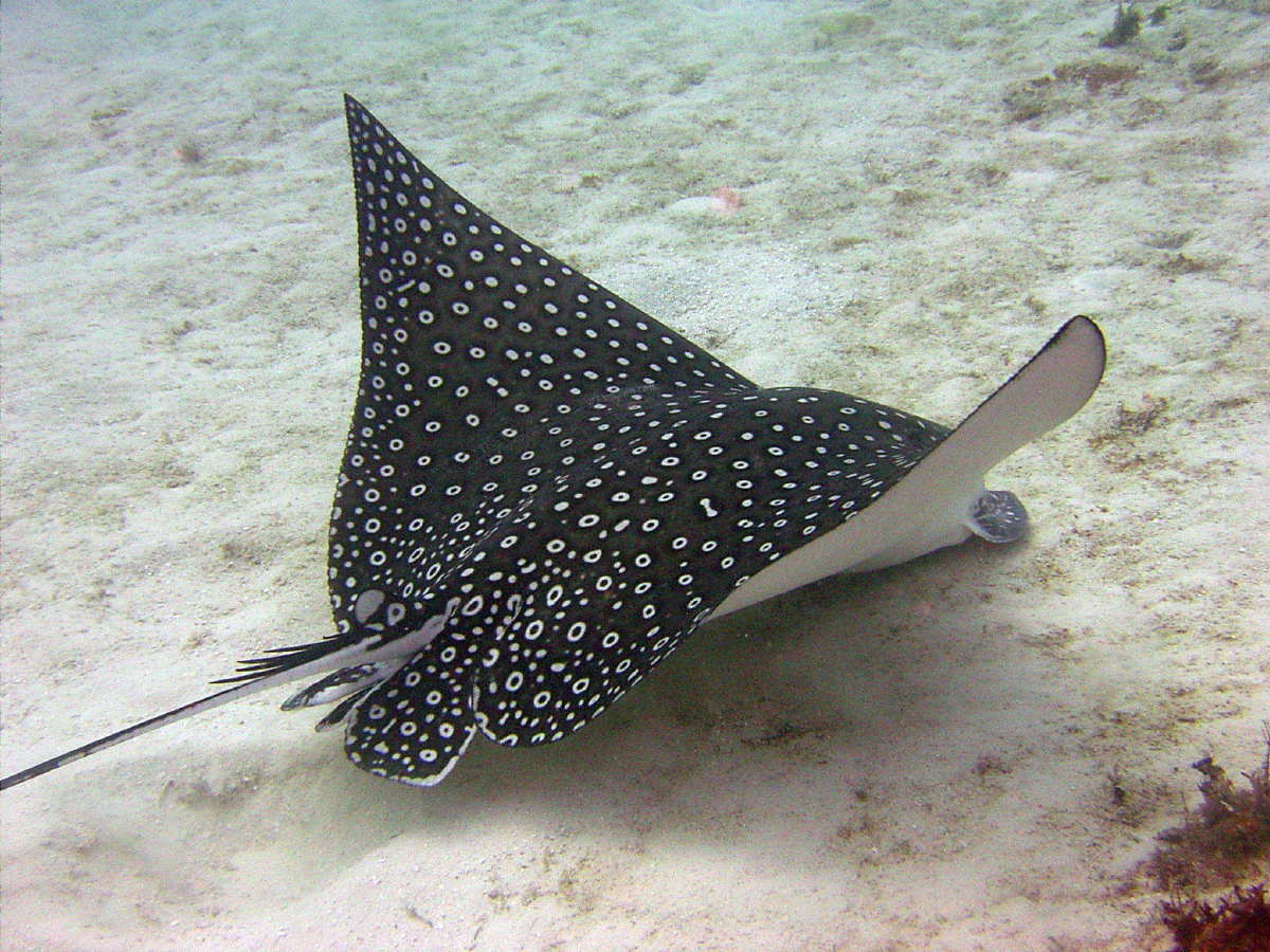 Spotted Eagle Ray (photo from Pinterest)