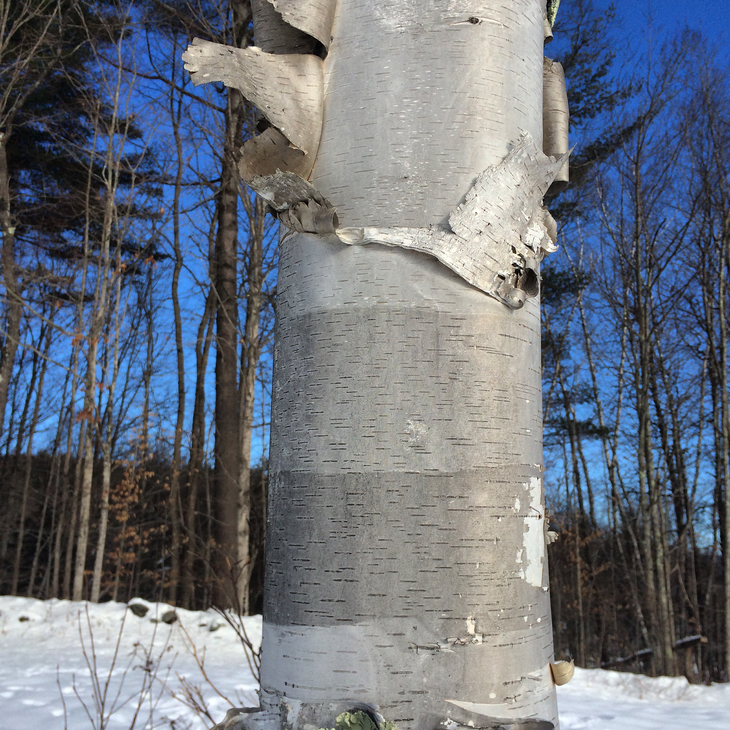 White Birch in Vermont