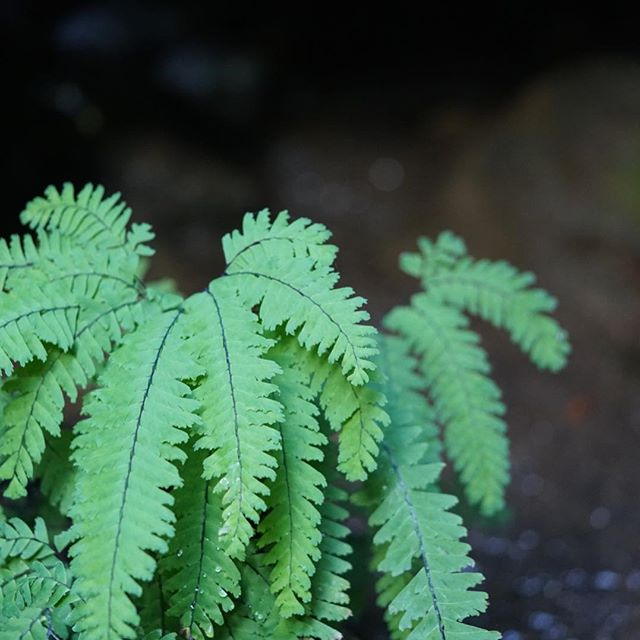 """Science asks us to learn about organisms ; traditional knowledge asks us to learn from them"" — Robin Wall Kimmerer . #ferns #maidenhairfern #listen #natureconnection #robinwallkimmerer #micdrop #dontstudyme"
