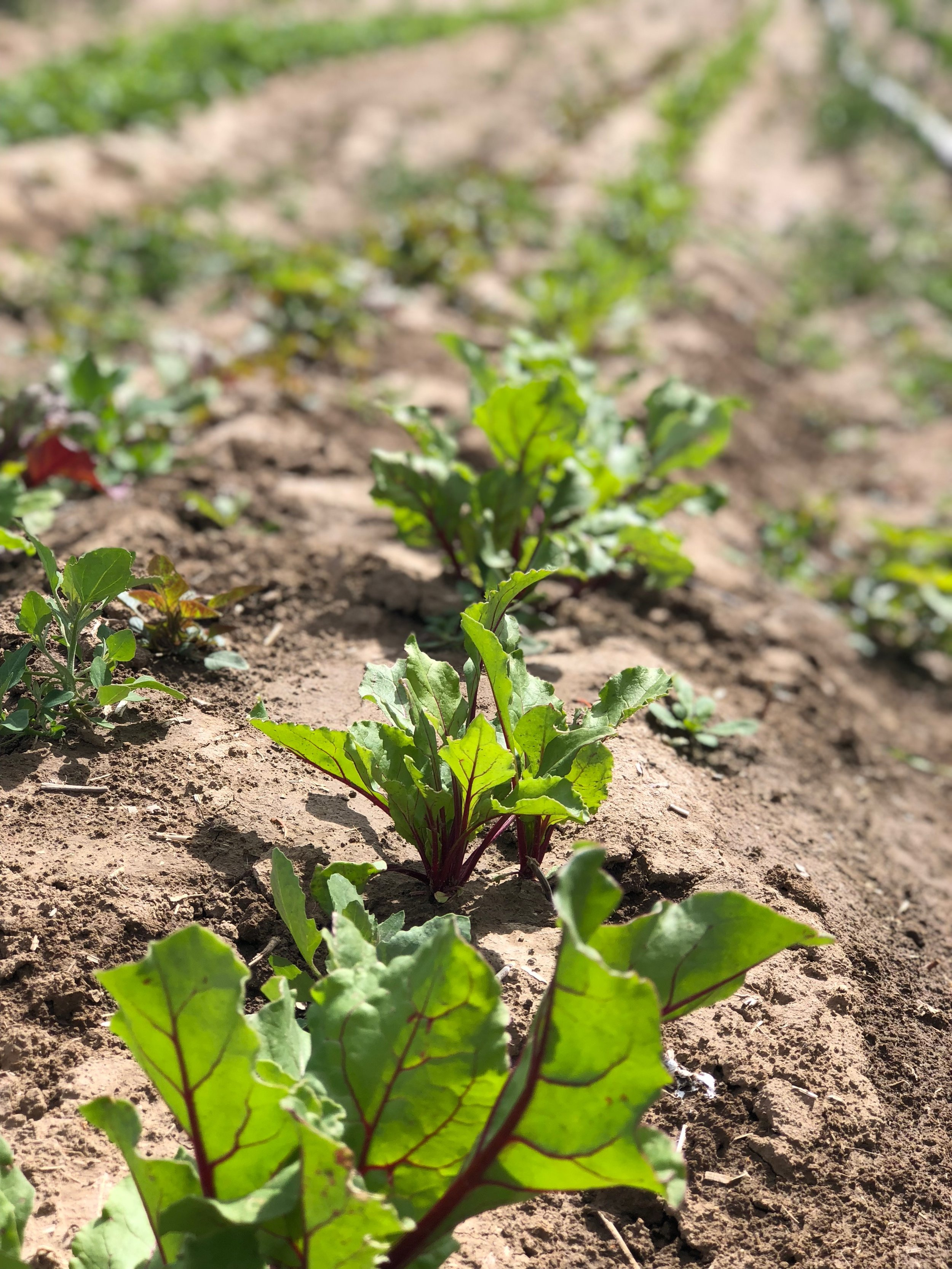 If you loved the beets from last year... just wait for MORE this year.