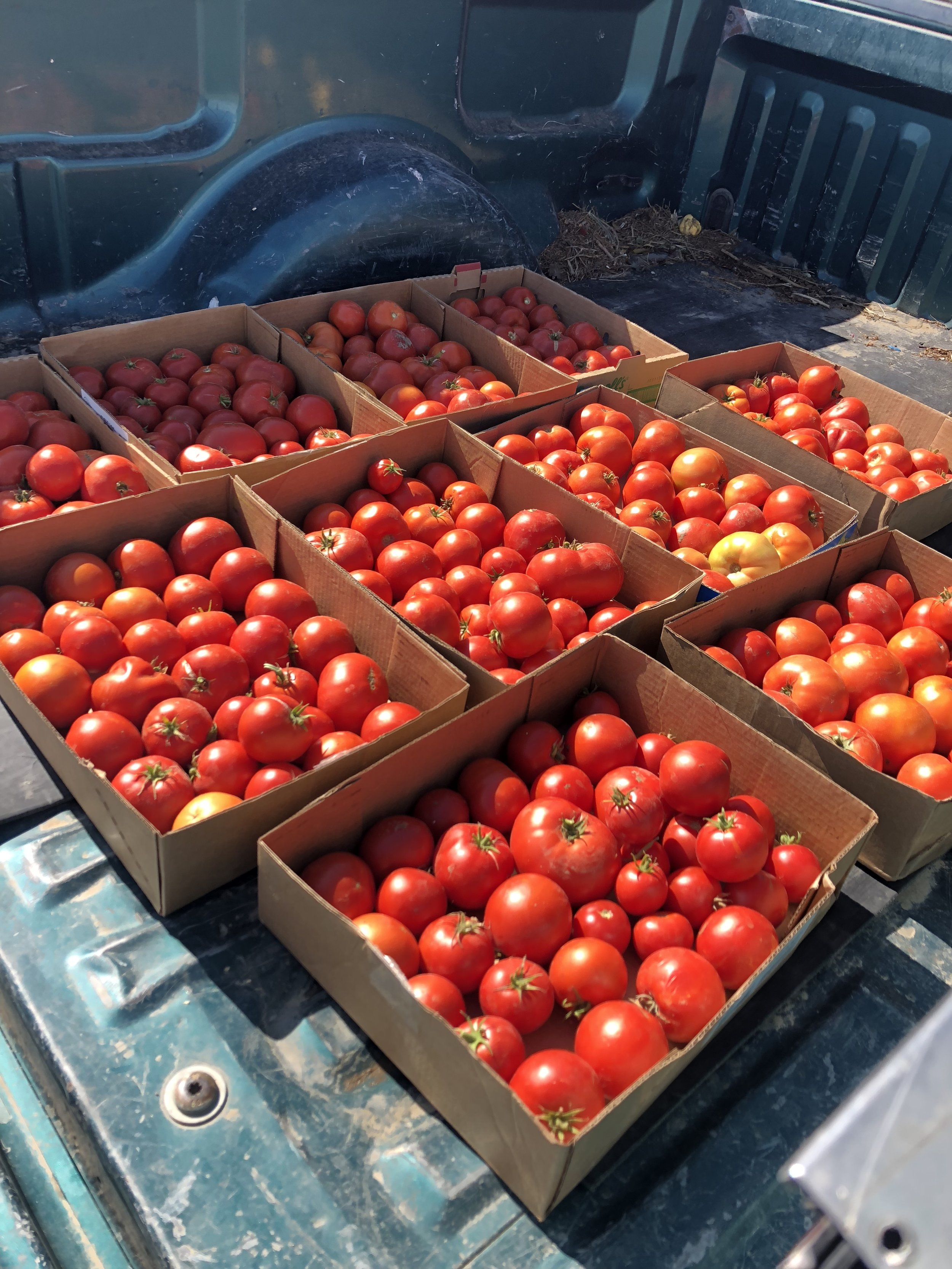 The last remaining tomatoes, we made a lot of salsa and canned even more!