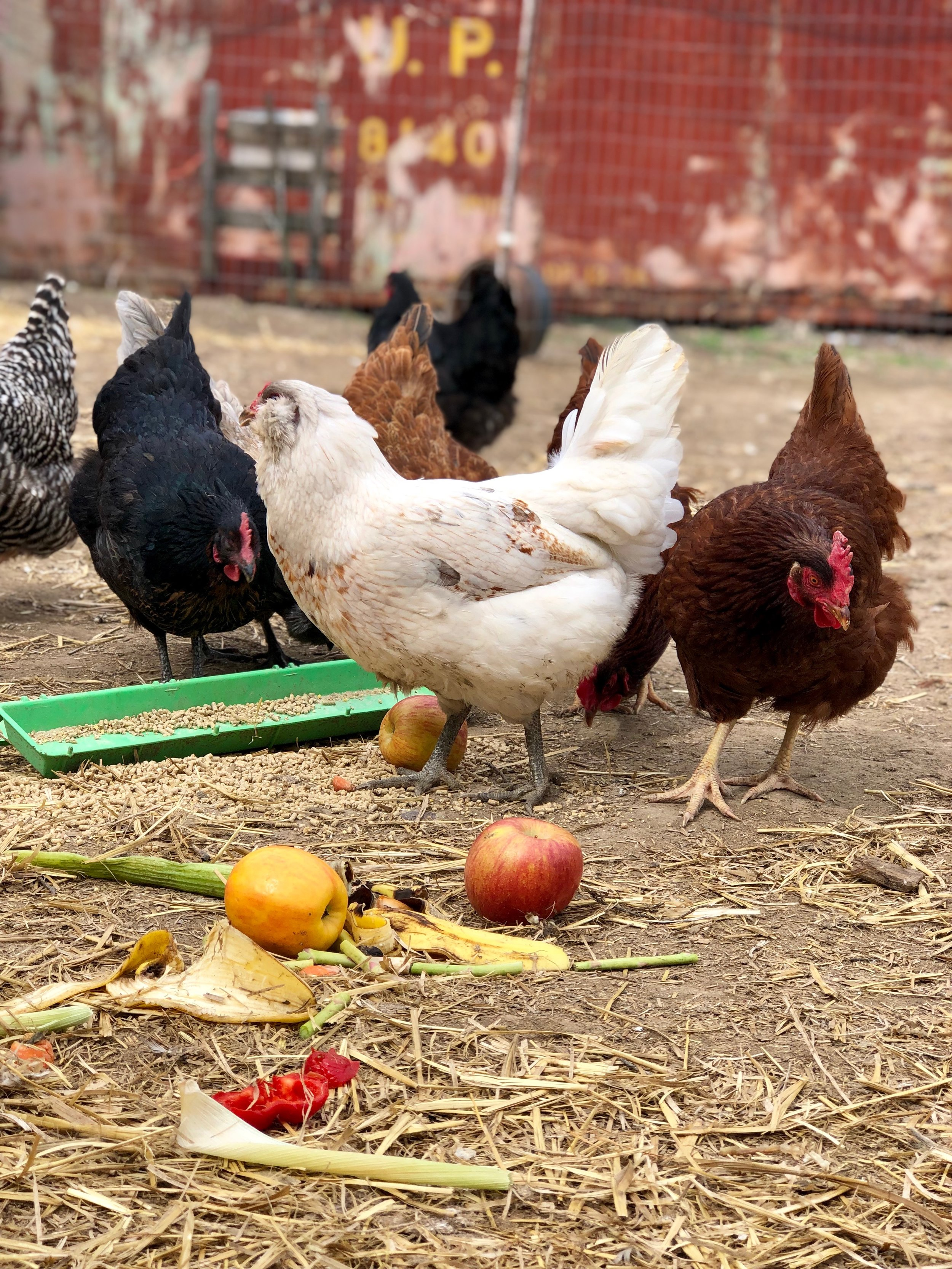Our chickens eat so many delicious veggies!