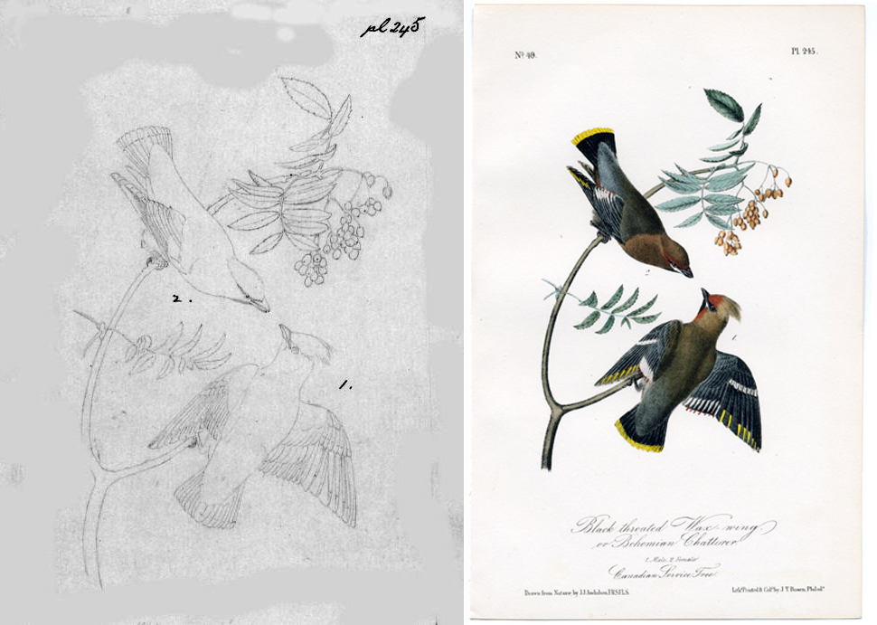 John W. and John James Audubon, Birds of America Plate 245: Black-Throated Wax Wing, 1839. (Left: John W. Audubon's original Camera Lucida Pencil drawing. Right: as printed in the Octavo Edition, Colored and printed by J.T.Bowen)