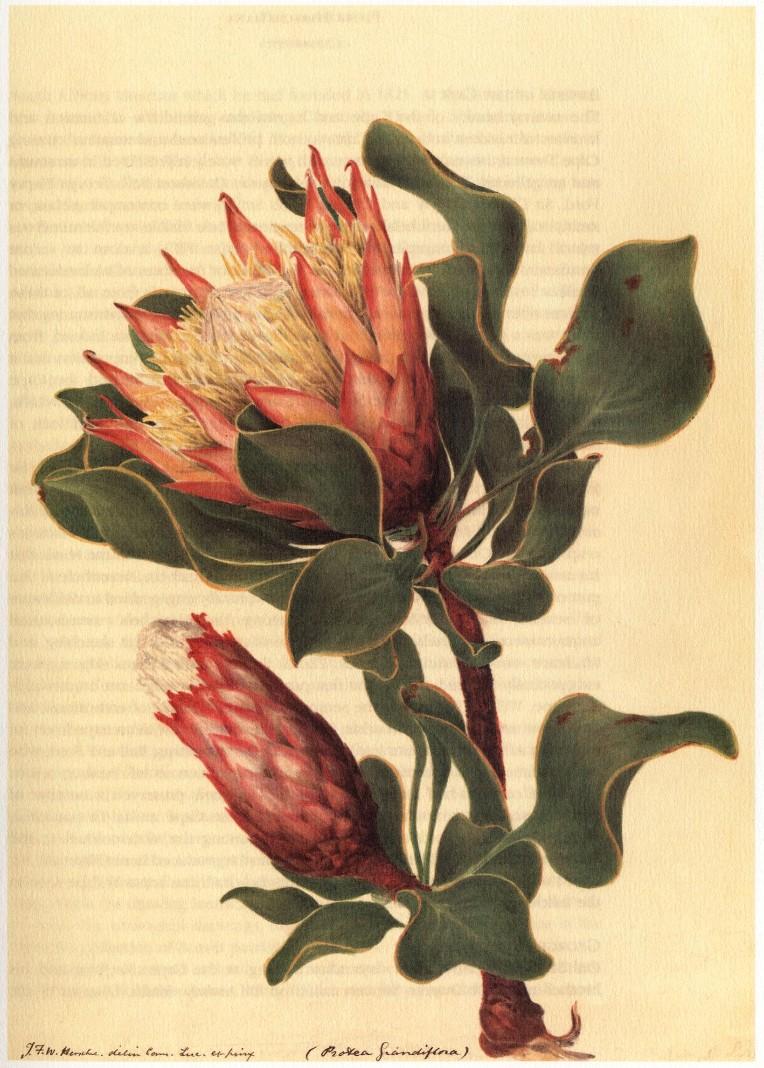 Sir John Herschel, Protea Cyanaroides, 1835