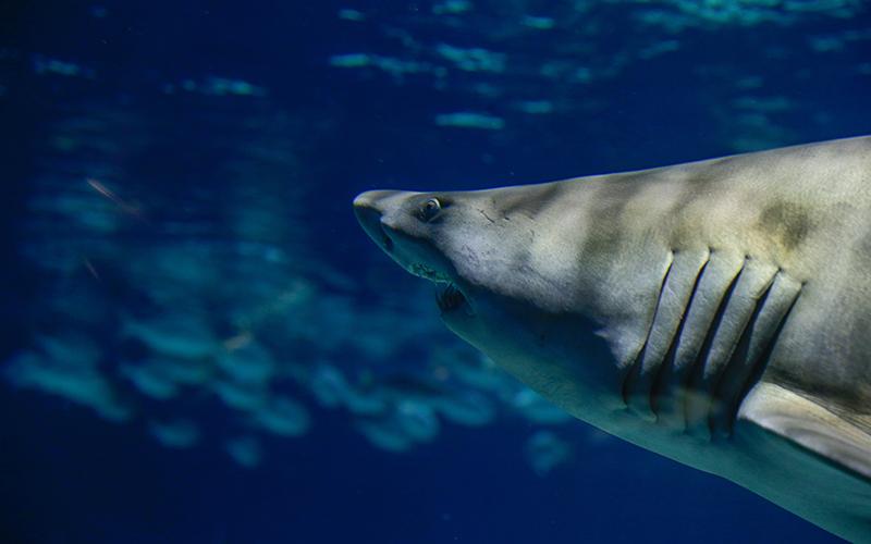 OdySea Sharks