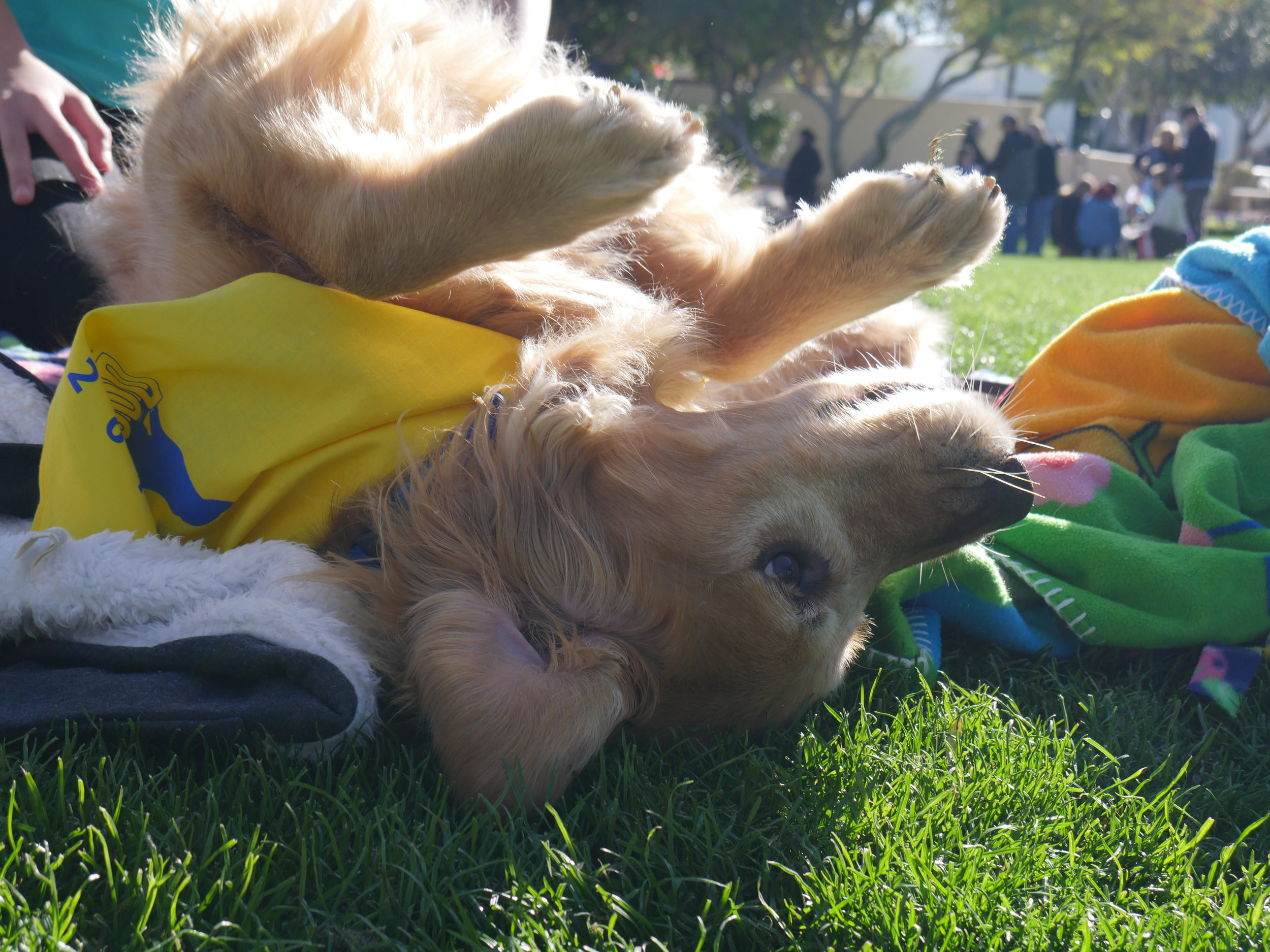 Pioneer, a Golden Retriever, soaks up the sun at the DogFest Walk 'n Roll in Scottsdale, Ariz. on Feb. 24, 2018.  (Nick Serpa/azcentral)