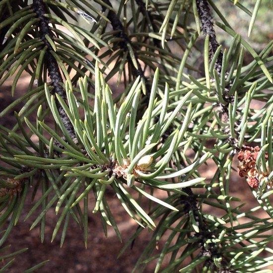 pine tree pic.JPG