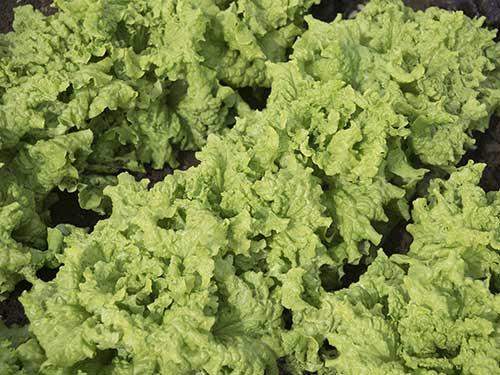 Seedling4-black-simpson-lettuce.jpg