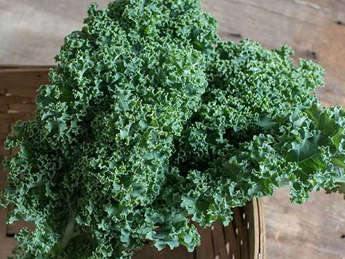Seedling7-darkbor-curly-kale.jpg