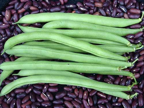 Seedling18-provider-beans.jpg