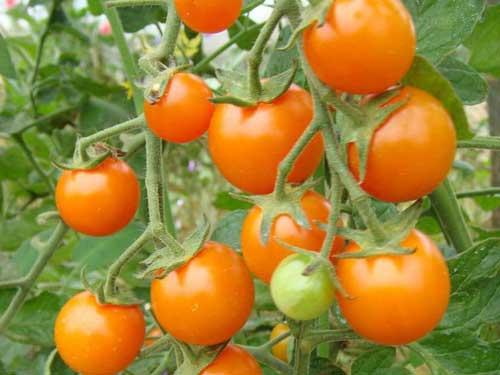 Seedling21-cherry-tomato.jpg