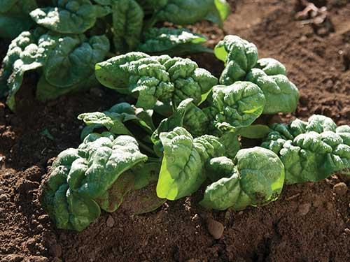 Seeds-Pack-Bloomsdale-Spinach.jpg