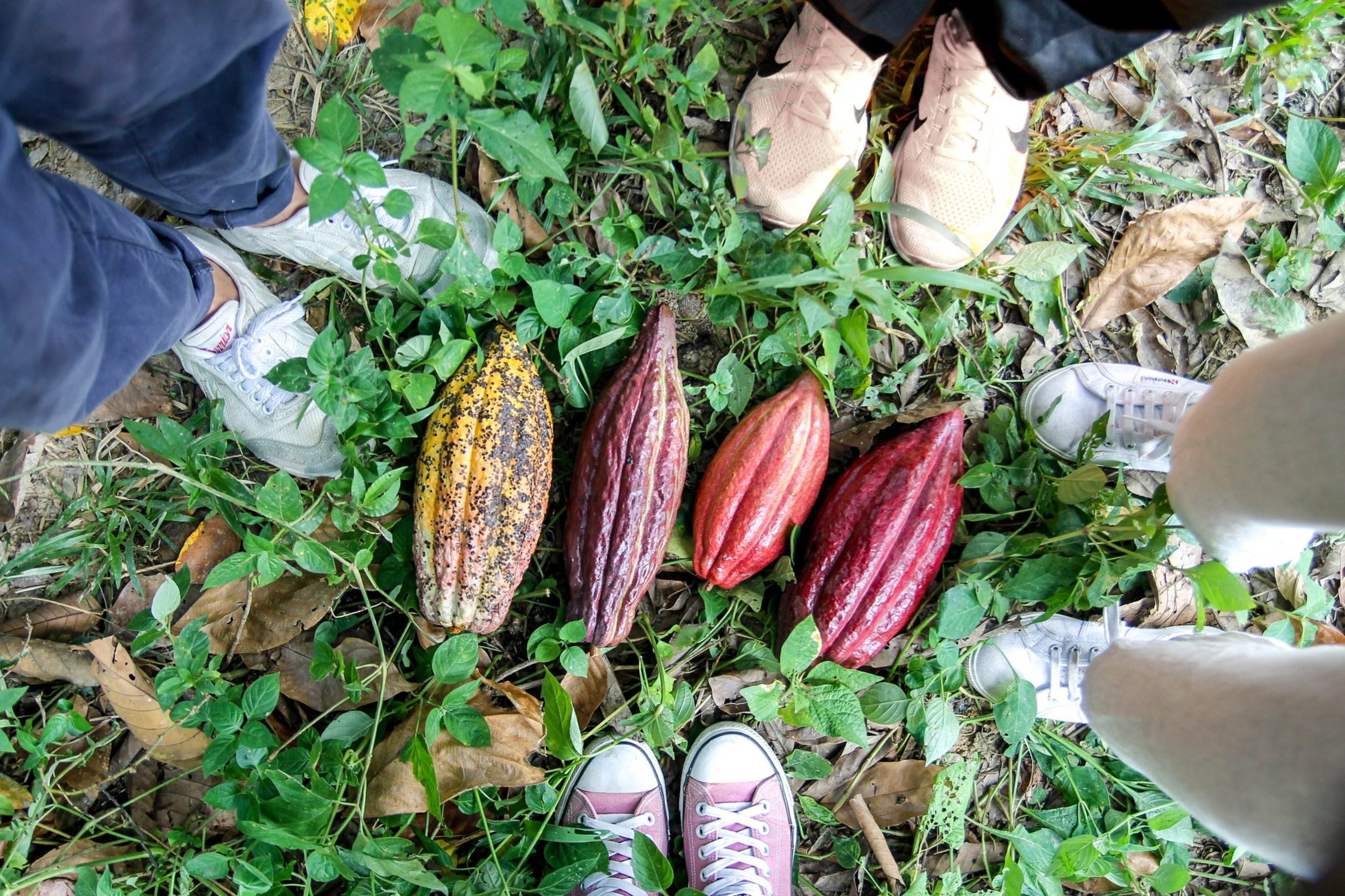 Farm-cacaopodsjpg