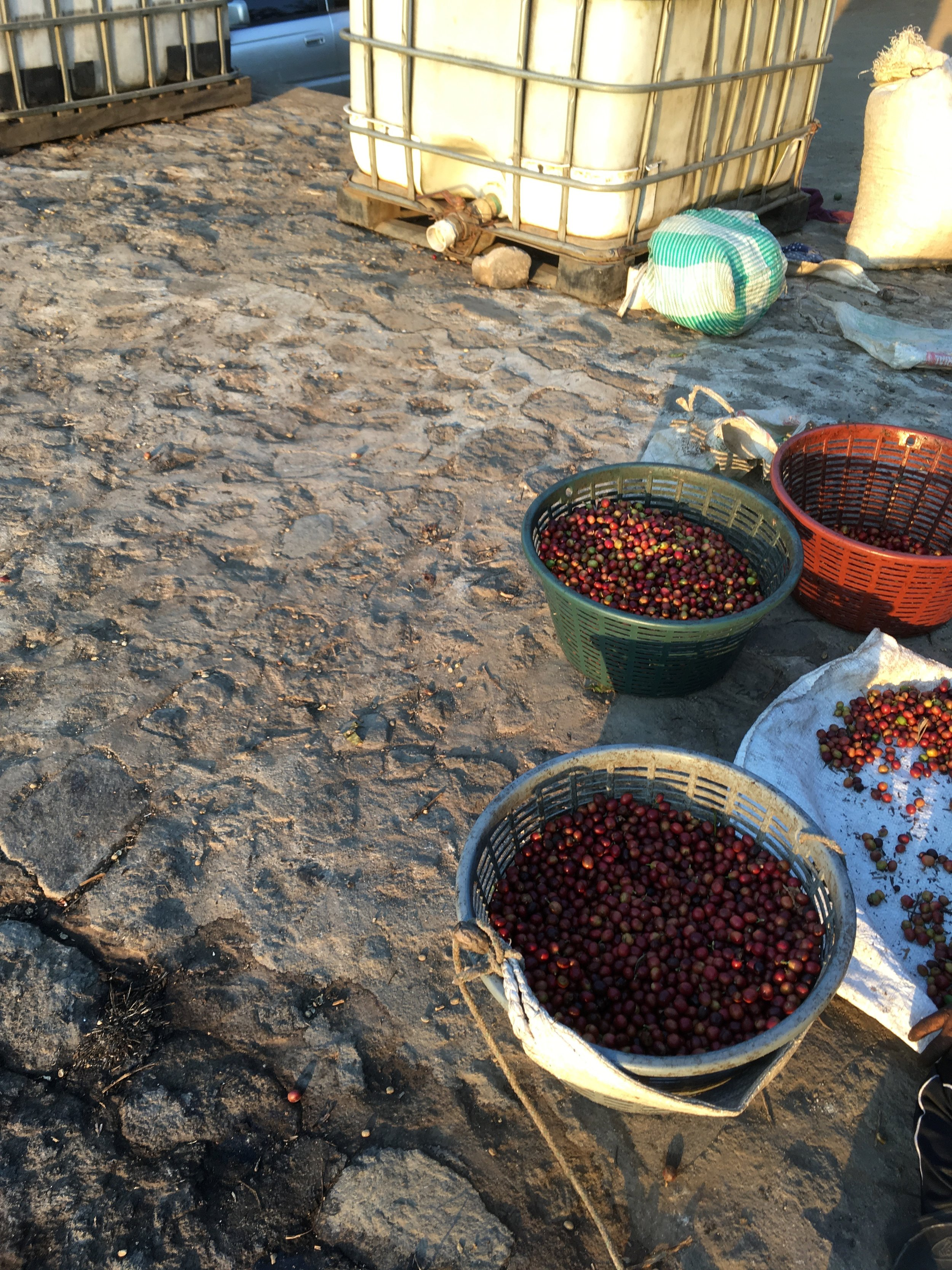 Hand sorting at Finca Santa Clara.