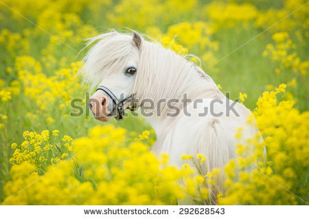 A rare image of Popcorn in a field of poppies. Brought to you by shutterstock.