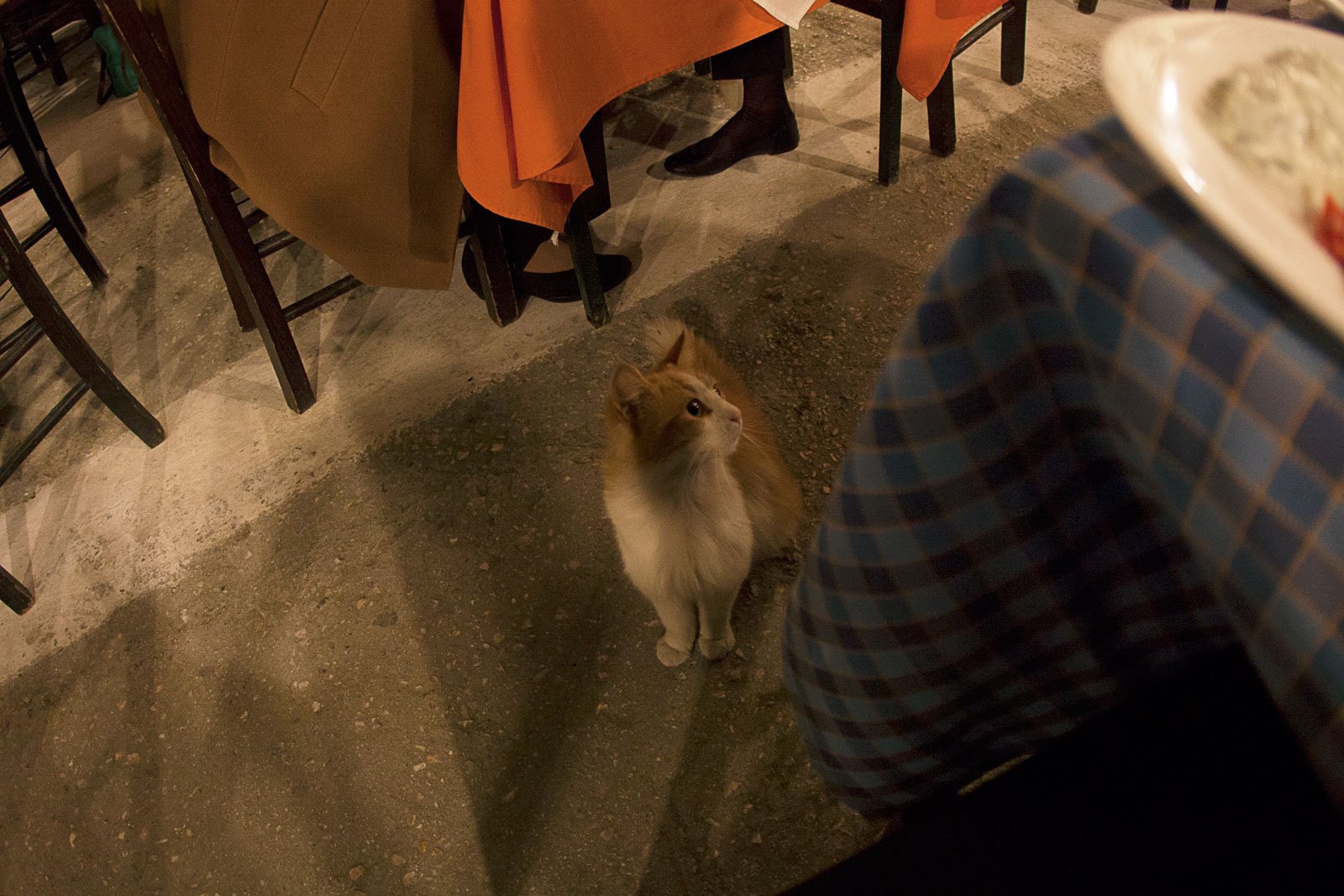 A cat hoping for scraps during dinner