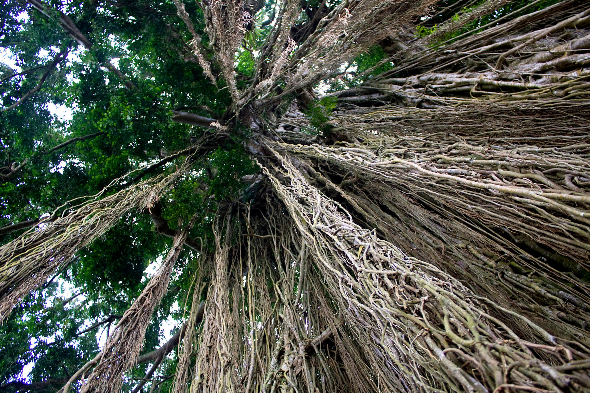 Banyan trees are considered sacred in Bali