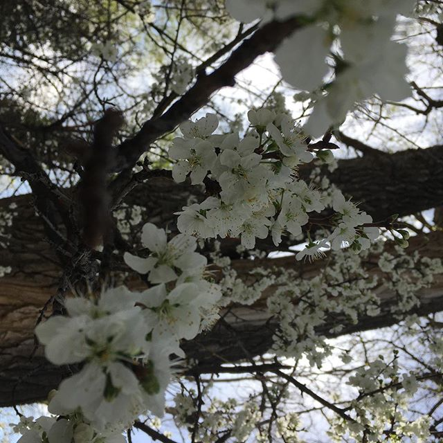 The scent of the plum blossoms and the song of the flicker and the morning dove. Peace on this Good Friday!