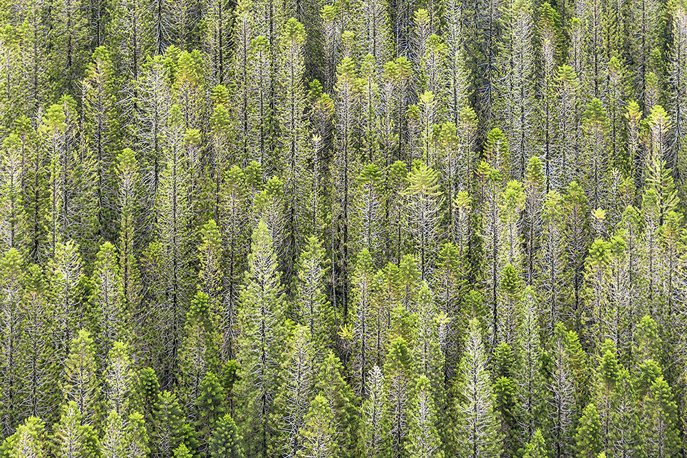 """ZOE WETHERALL, """"PINE TREES"""" archival pigment print (limited edition)"""