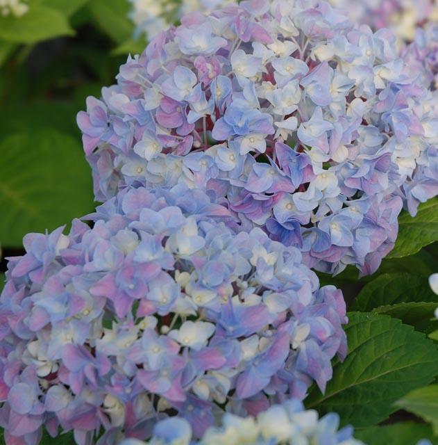 Hydrangea Blue.jpg