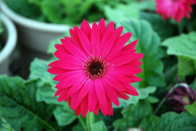 Gerber Pink.jpg