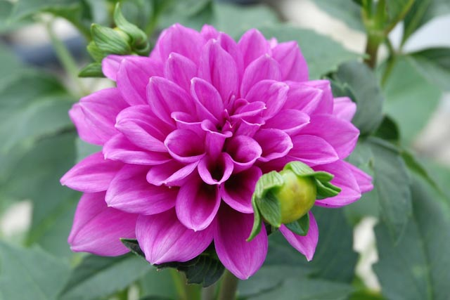 Dahlias Purple.jpg