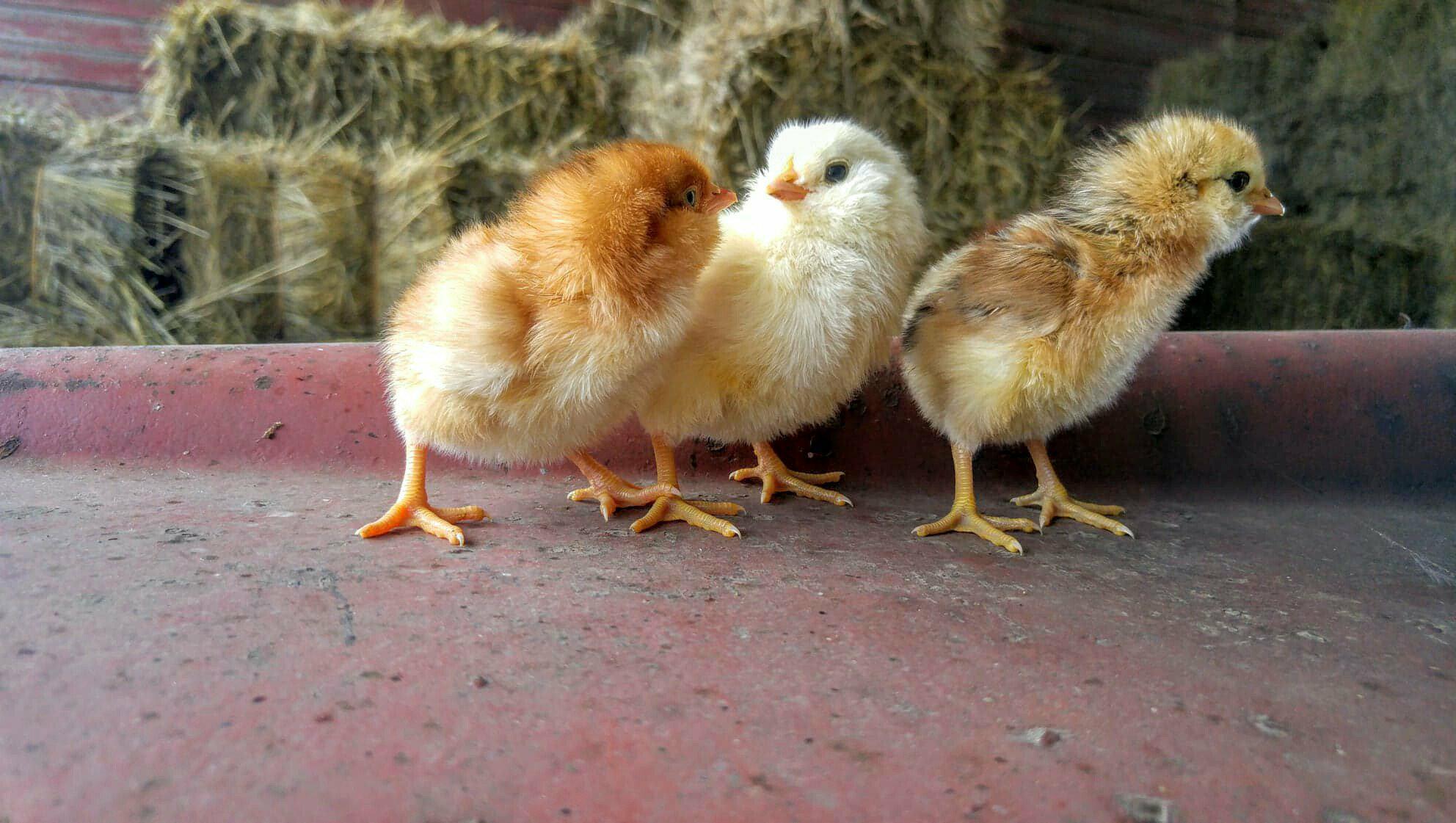 3 little chicks.jpg