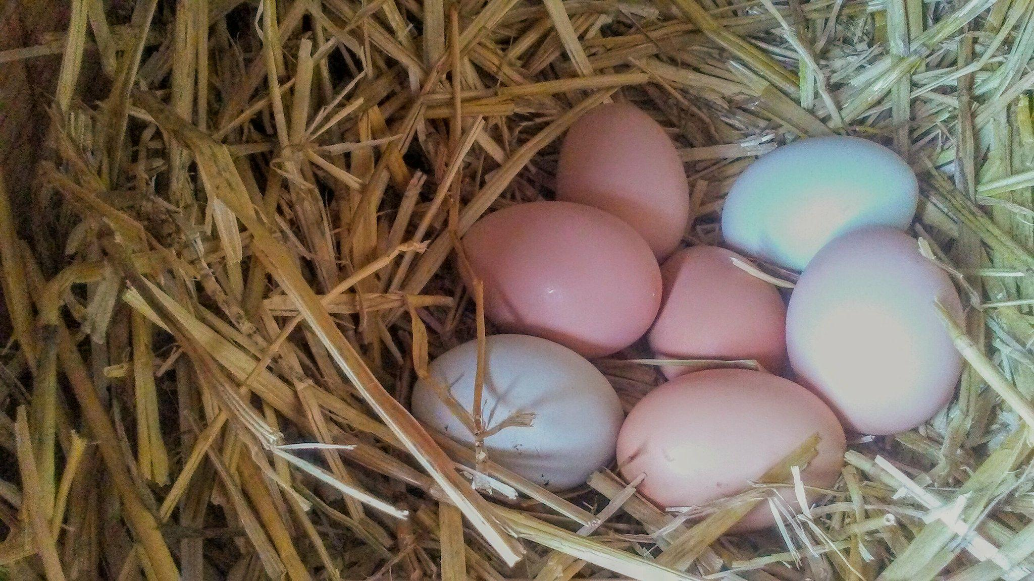 Our rainbow colored eggs.