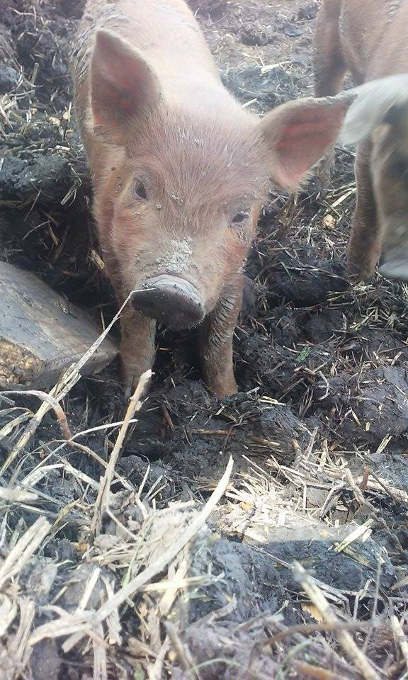 Confinement pigs are routinely given iron shots at birth. No need for it in piglets raised outside. They get iron naturally from the dirt!!