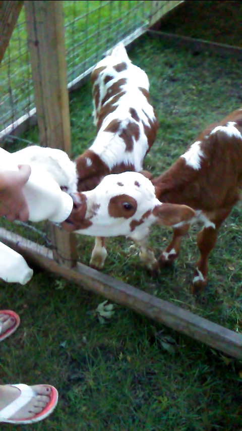 bottle feeding twin calves.png