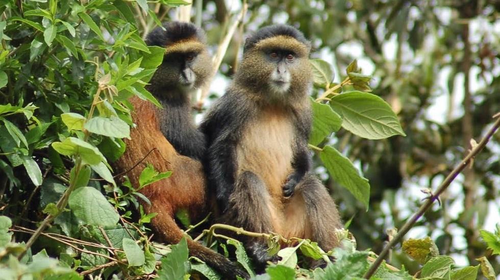 Golden_monkey1.jpg