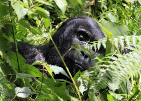 Mountain Gorilla