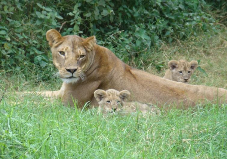 Amboseli_King_Of_The_Jungle