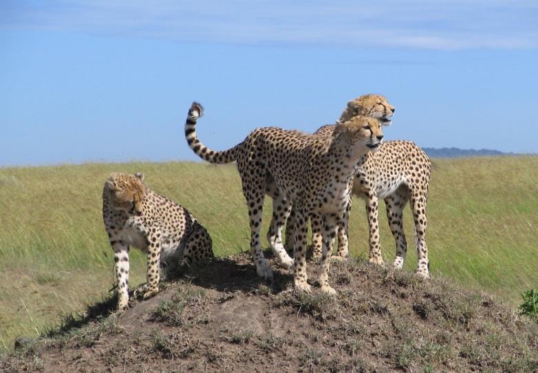 Masai_Mara_Leopards