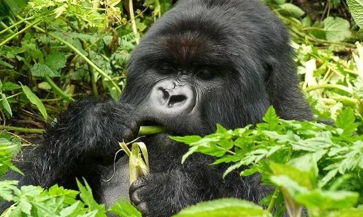 VolcanoesNP_Gorilla
