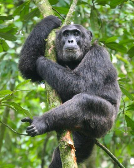 Kibale_Chimpanzee