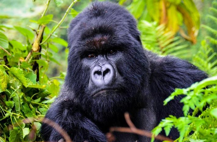 Gorilla_Volcanoes.jpg