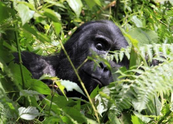 Bwindi_National_Park_Gorillas