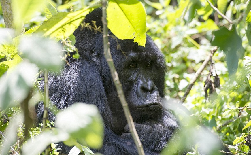 14 Day Gorilla Trek
